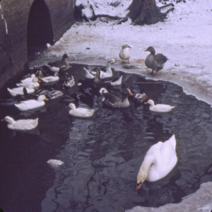 Ducks in a Park, 1970-1976
