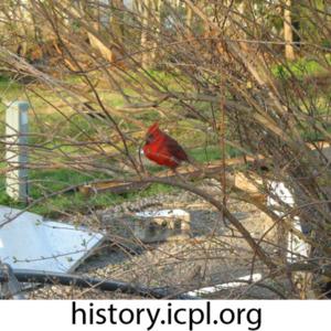 Cardinal sans tail feathers