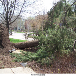 Uprooted evergreen in front of City Hall